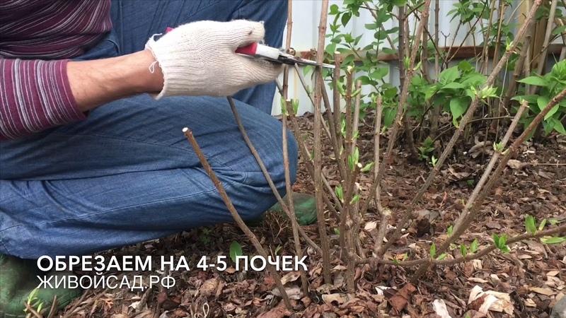 Метельчатые гортензии обрезка и цветение