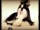 Собачий прикол Про породу собак Ши тцу Смешно смотреть!