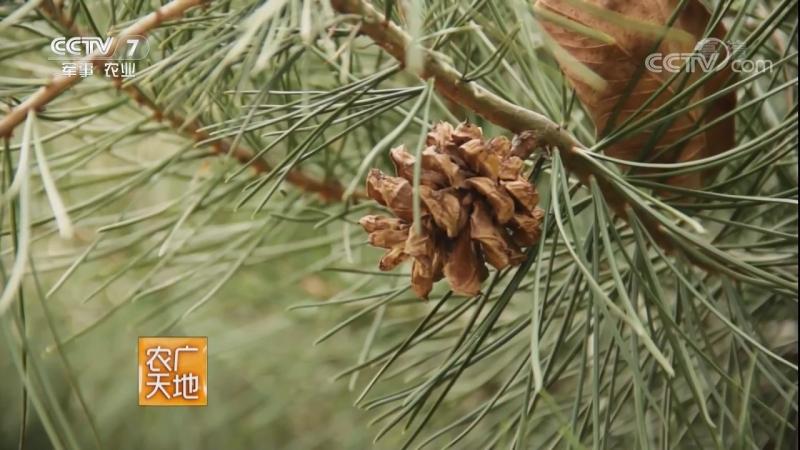 Сосна белая ''БайПиСун'', дословно ''сосна с белой кожей' (лат. Pinus bungeana). Техника выращивания ''ЦзайПэй ЦзиШу''.