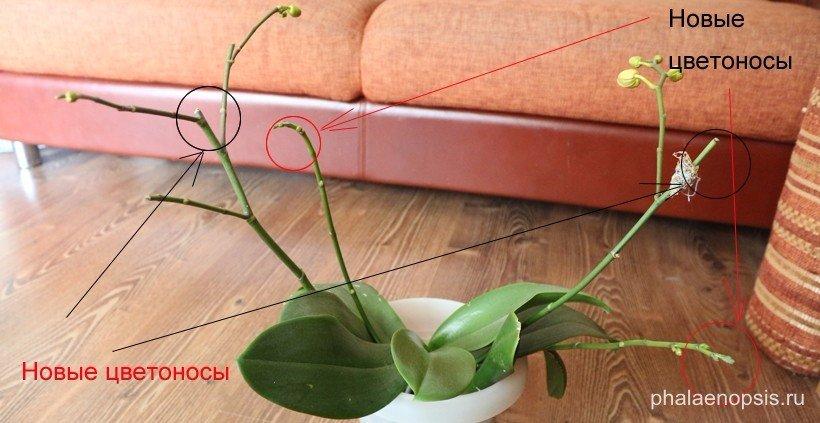 Чем подкормить орхидею в домашних условиях подручными
