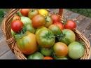 Выращивание томатов шпаргалка на лето