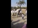 Лошадь танцует