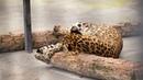 Леопарды Тайгана | Leopards in Taigan.