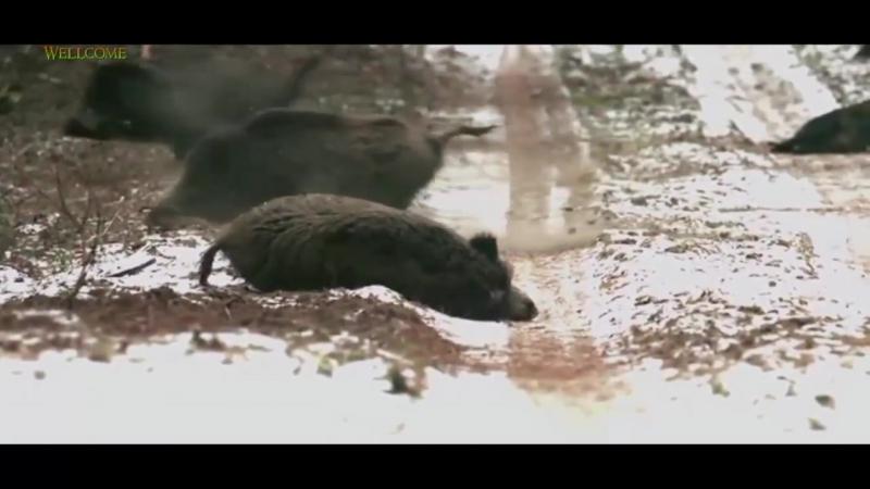 Beste Wildschweinjagd Jagd wild boar hunting