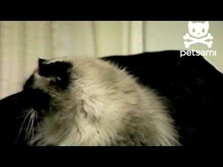 Cat loves having his head vacuumed