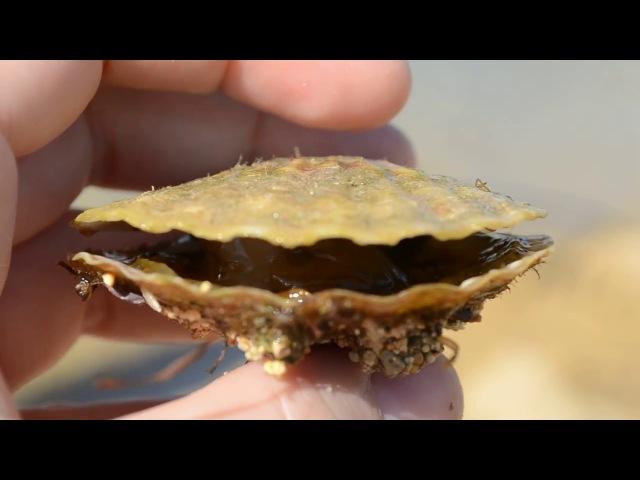 морской гребешок на Донузлаве