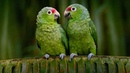 Картинка птицы Клюв попугай Эквадор Краснолобый Амазон попугаи red lored bing JPEG