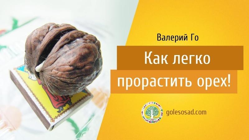 Валерий Го Как легко прорастить орех!