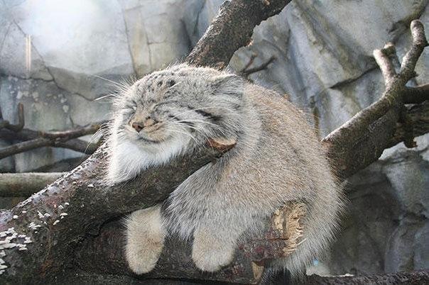 Хищное млекопитающее Манул.