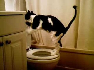 Кот ходит в туалет над унитазом (прикол)