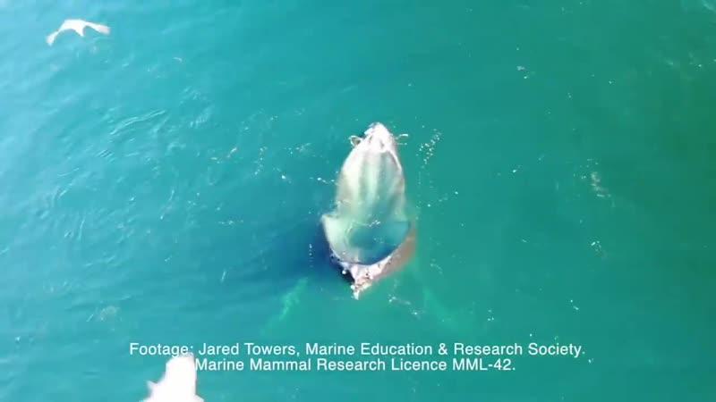 В Канаде кит притворился бассейном, чтобы поймать побольше рыбы Рыбы принимают «бассейн» за укрытие и попадают в ловушку 4 декаб
