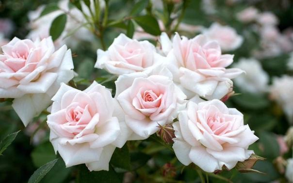 Как защитить садовую розу