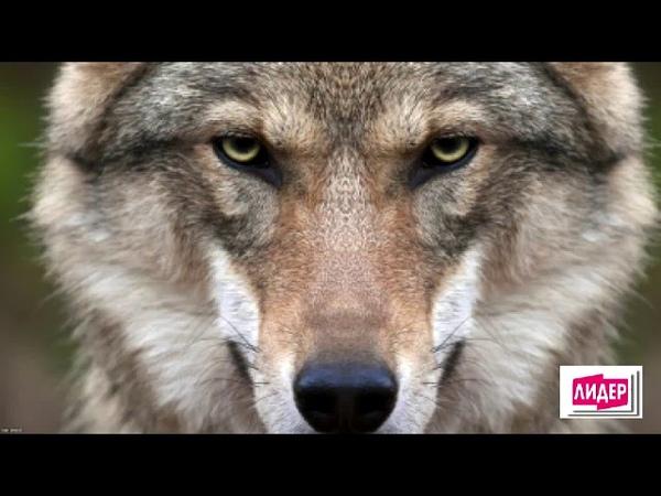 Классная песня. Волк одиночка - Феликс Луцкий