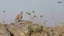 Пустынная курочка / See-see Partridge / Ammoperdix griseogularis