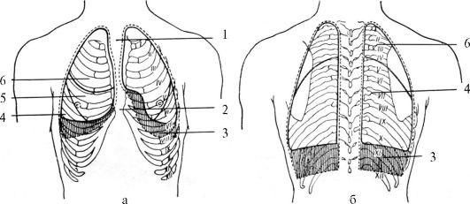 Пунктир - граница плевры; линия - граница легких.  Под плевральным синусом понимают углубление плевральной полости...