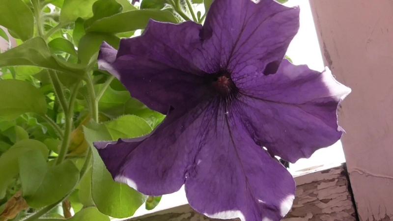 Цветёт цветок петуния в июне, синие цветы у цветка