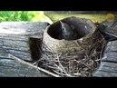 Гнездо дрозда от яиц до полёта