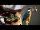 Đào Hang Đất Bắt Chim Bói Cá(Ku Tẻo ) - 【SĂN HÁI TV】