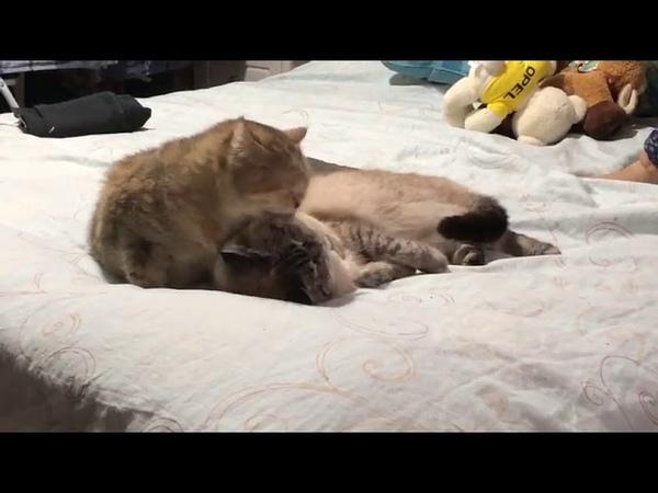 1266. 04.02.2016 - Кошка Маргаритка (дома Моня) живет дома (видео из дома)