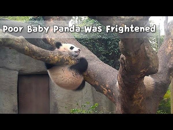 Poor Baby Panda Was Frightened | iPanda