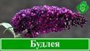 Цветы будлея посадка и уход выращивание будлеи из семян размножение будлеи Давида