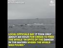 Моряки в Чили вызволили кита из рыбацких сетей