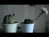 Видео про кактусы