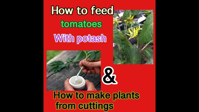 How to feed Tomatoes with potash how to make plants from stem cuttings