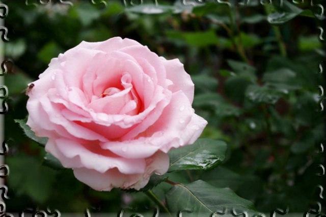 Шесть секретов успешного выращивания роз