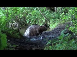 Бобр на берегу Валдайского озера
