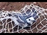 How To Make A Net Bird Trap - Trapping Birds With Net Trap Homemade