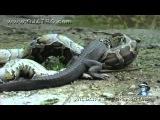 Анаконда ест крокодила О_О