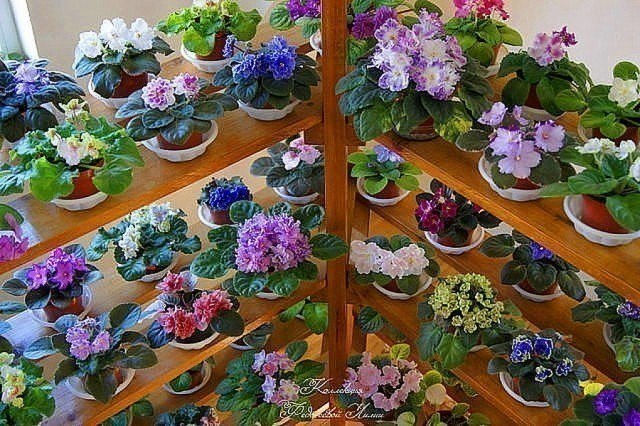 Картинки по Еапросу african violets