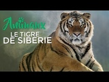LA VENGEANCE DU TIGRE MANGEUR D'HOMMES DOCUMENTAIRE ANIMALIER HD