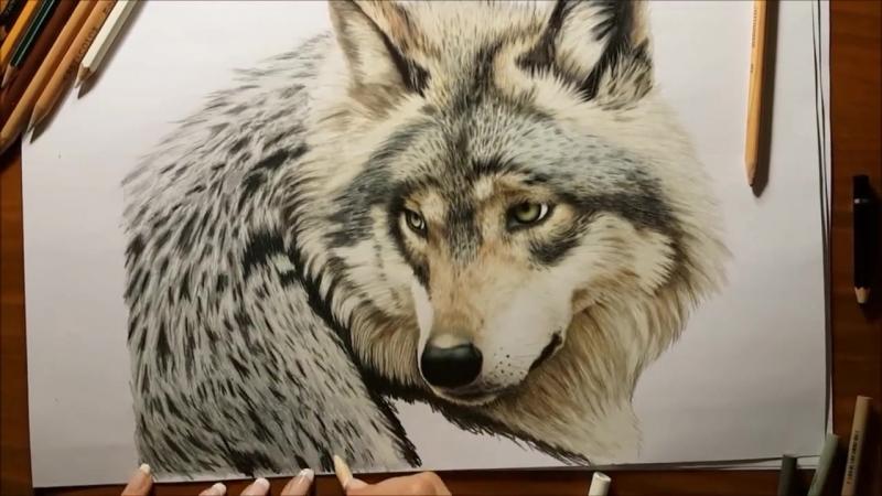 Colored Pencil Drawing- Grey Wolf by Jasmina Susak