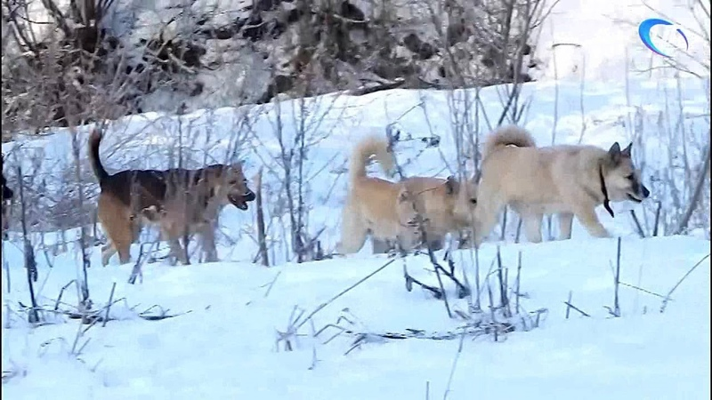 Новгородцев вновь пугают собачьи стаи
