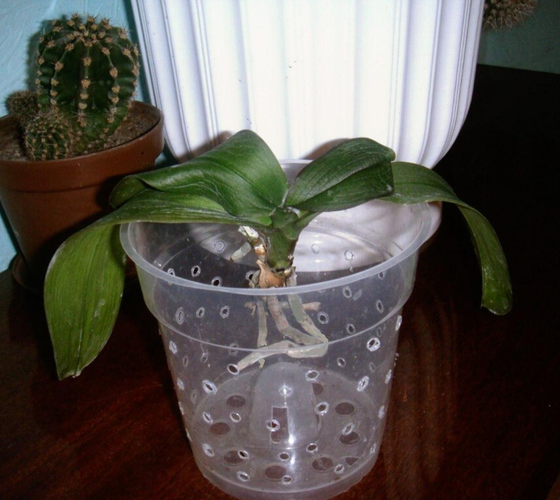 Можно ли сажать орхидею в обычный горшок 91