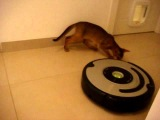 Abyssinian kitten riding robot