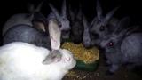 Жирные, пушистые грызуны, кролики грызут кукурузу перед забоем!