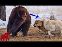 Drei Wölfe gegen vier Grizzlybären Bären sind zu grausam Kämpfe von Tieren