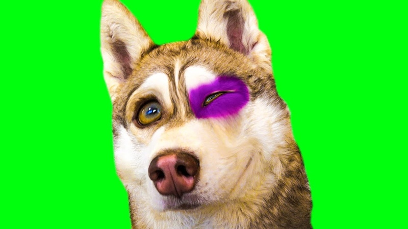 Я ПОДРАЛСЯ! (Хаски Бублик) Говорящая собака Mister Booble