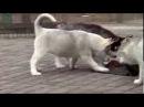 Щенки сибирской хаски в питомнике Kattyval , ссылка под видео.