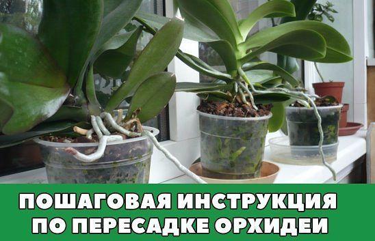 Орхидея фаленопсис уход в домашних условиях пересадка после покупки 959