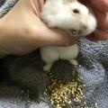 vacuum hamster