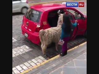 В Перу ламы разъезжают на такси