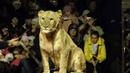 В цирке шапито львица напала на девочку. Вести Дежурная часть 03.11.18.