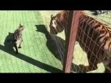 Встреча двух тигров