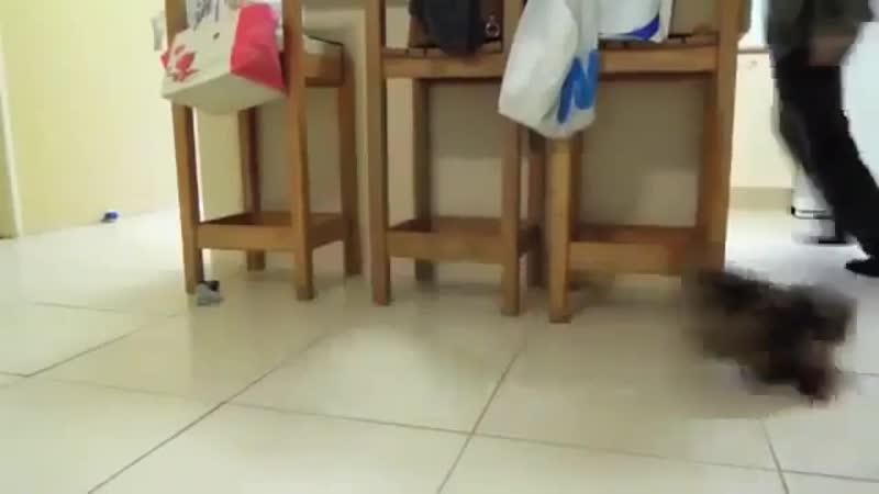 Маленький щенок гоняется за своим хозяином
