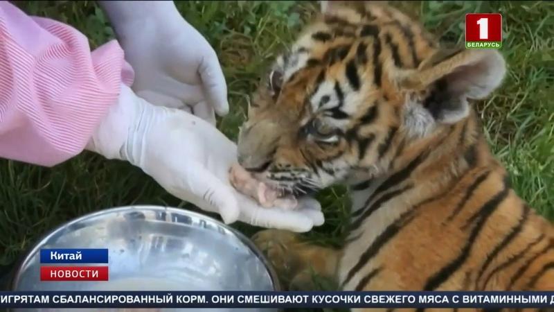 В зоопарке Хайлинь отметили 100 дней с момента появления на свет 9 маньчжурских тигрят