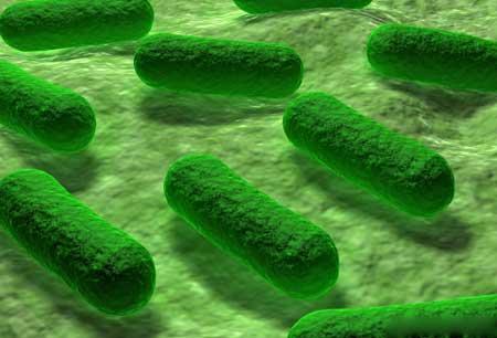 Исследователи, которые изучают аллостерические ферменты, часто работают с бактериями, такими как Escherichia coli.